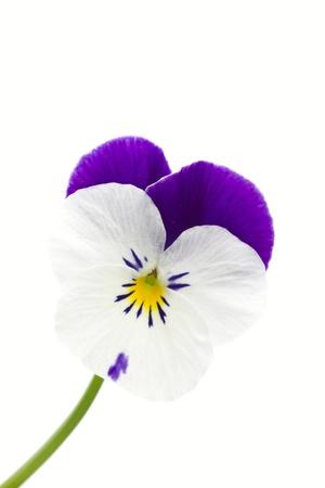 Viola cornuta flower on white background Stock Photo - 12837988