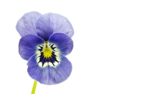 Viola cornuta flower on white background