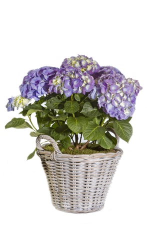Purple Hydrangea flower in a pot on white background photo
