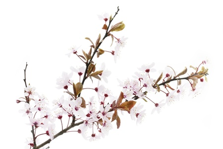 blossom time: Twig of a blooming Cherry Plum or Myrobalan on white background