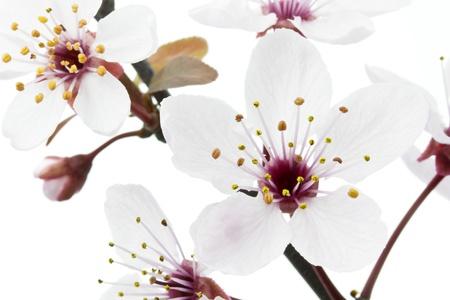 myrobalan: Cherry Plum or Myrobalan Blossoms on white background