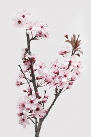 Cherry Plum of myrobalan Bloesems op een witte achtergrond