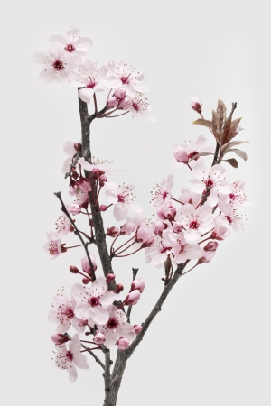Cherry Plum or Myrobalan Blossoms on white background photo