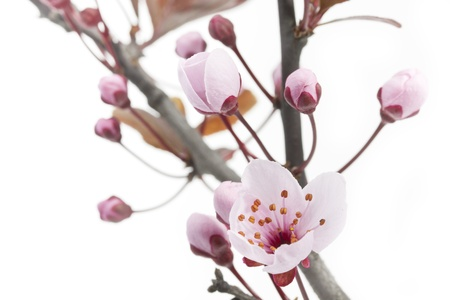 blossom time: Cherry Plum or Myrobalan Blossoms on white background