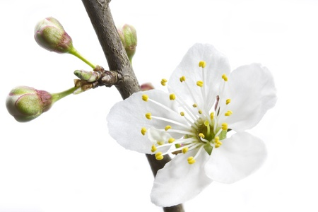 prunus cerasifera: White blossom of a Cherry plum or Myrobalan  Prunus cerasifera  Stock Photo