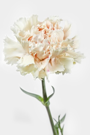 gilliflower: Single Carnation flower  Dianthus  on white background Stock Photo