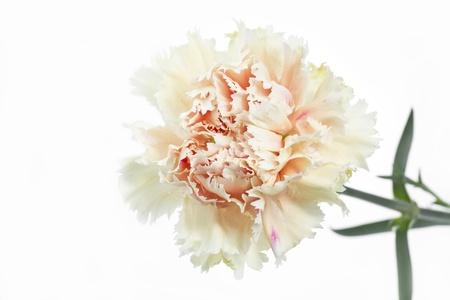 Single Carnation flower  Dianthus  on white background photo