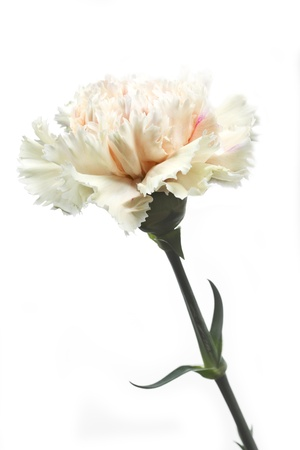 clavel: Individual Clavel Dianthus flores sobre fondo blanco