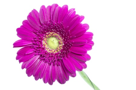 Single pink Gerbera flower on white background photo