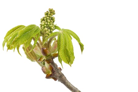 Buds and spring leaves of a chestnut tree  Aesculus hippocastanum  photo