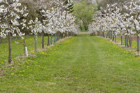 Blossoming cherry trees on a green meadow in spring photo