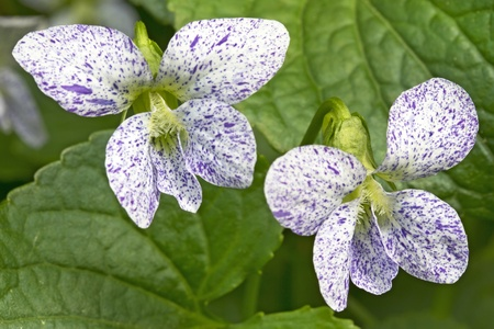freckled: Two freckled violet  viola sororia  flowers in a garden Stock Photo