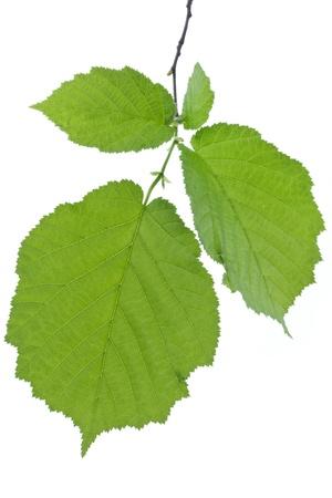 corylus: Hazel leaves isolated on white background  Corylus Avellana  Stock Photo