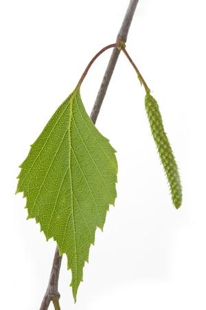 betula: Birch leaf  Betula  in spring on white background Stock Photo