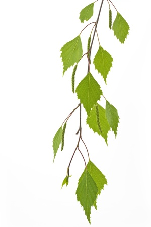 betula: Birch leaves  Betula  in spring on white Stock Photo