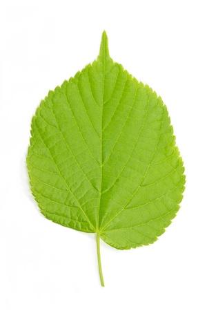 Hazel hoja de Corylus avellana en el fondo blanco Foto de archivo