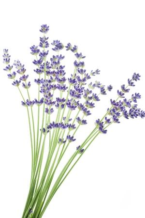 Lavendel bloemen Lavandula angustifolia Stockfoto