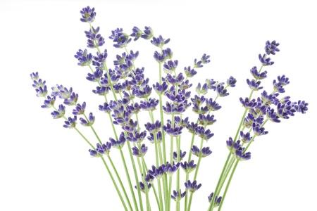 lavandula angustifolia: Lavender flowers  Lavandula angustifolia   Stock Photo