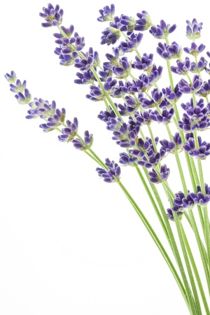 lavandula angustifolia: Lavender flowers  Lavandula angustifolia   Stock Photo