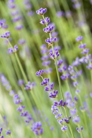 lavandula angustifolia: Lavender flowers  Lavandula angustifolia , shallow DOF