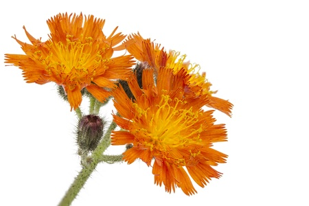 hawkweed: Pilosella aurantiaca or Orange Hawkweed Flower  Hieracium aurantiacum  on white