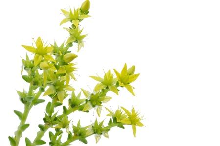 crassula: Sedum acre, stonecrop or crassula closeup Stock Photo