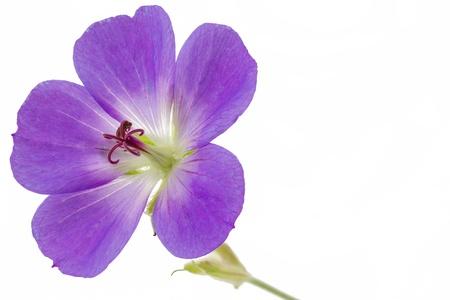 cranesbill: Purple Cranesbill flower on white background  Geranium