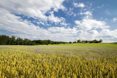 wheatfield: Blooming Cornflowers  Centaurea cyanus  in a wheat field in Bavaria, Germany