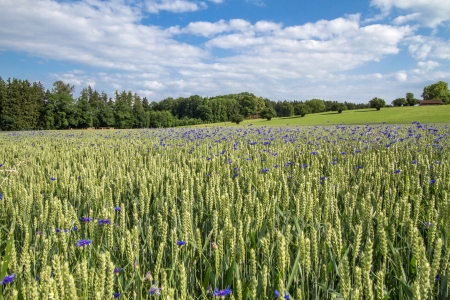 Blooming Cornflowers  Centaurea cyanus  in a wheat field in Bavaria, Germany photo