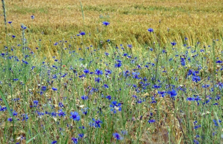 Cornflowers in Bavaria, Germany photo
