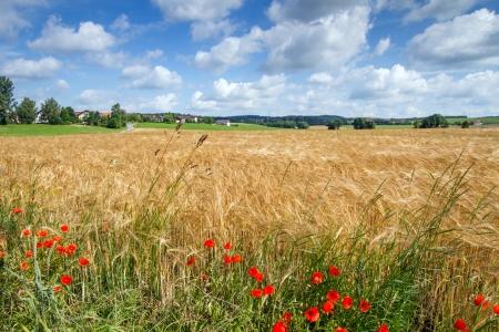 Graan veld in Beieren, Duitsland