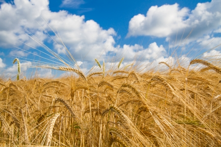 wheatfield: Grain field in Bavaria, Germany