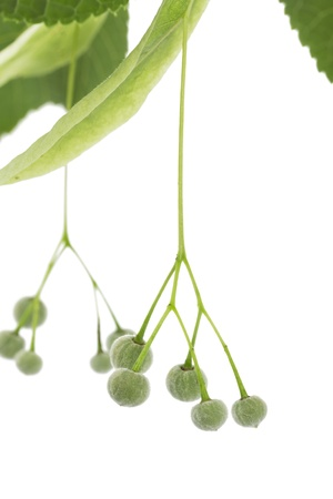 Lime tree seeds on white background photo