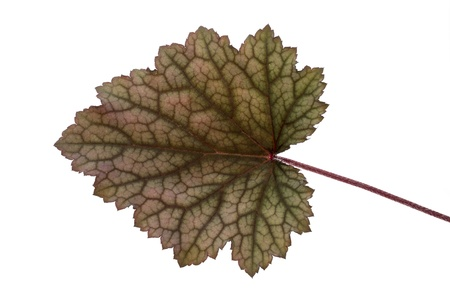 coral bell: Leaf of an Obsidian Coral Bells  Heuchera  flower on white