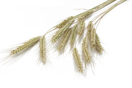 secale: Rye  Secale cereale  on white background
