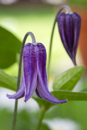 Clematis integrifolia flower with green foliage in the garden Stock Photo - 14358569