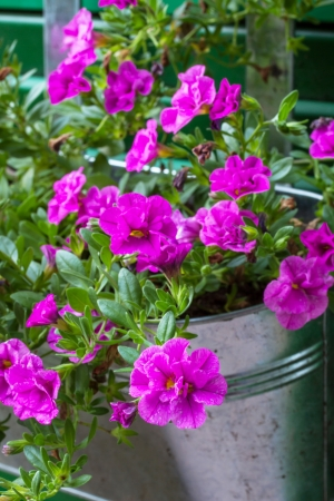 Calibrachoa flowers in a tin pot outside photo