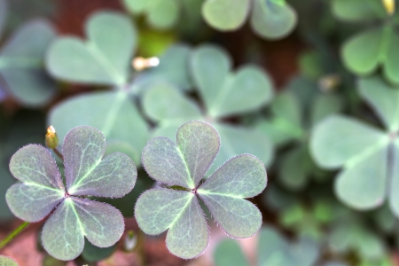creeping woodsorrel: Oxalis corniculata leaves in the garden