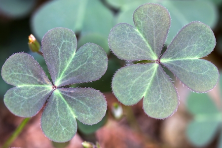 Oxalis corniculata leaves in the garden Stock Photo - 14358549
