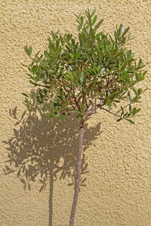 shaddow: Small Olea europea tree casting shaddow on a house wall