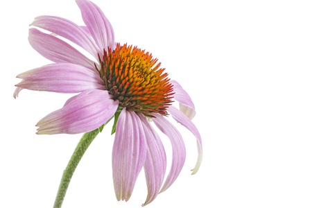 Single echinacea flower on white background  photo