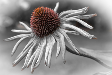 Single echinacea purpurea flower fading in the garden  photo