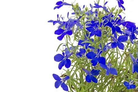 lobelia: Blue lobelia  Lobelia erinus  on white Stock Photo