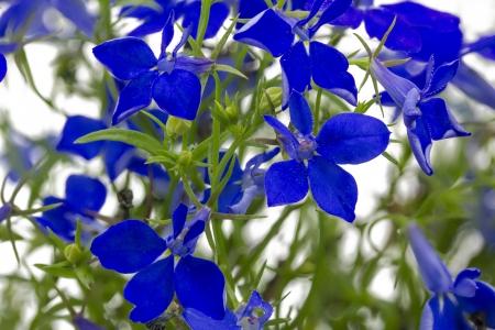 lobelia: Blue lobelia  Lobelia erinus  closeup, format filling