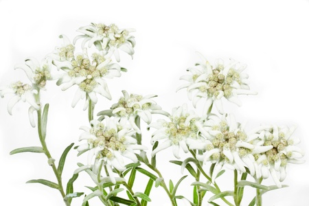 Blooming Edelweiss Flower  Leontopodium alpinum  Stock Photo