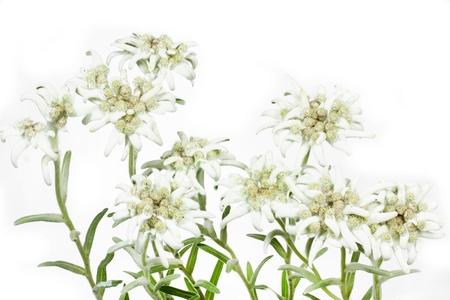 Blooming Edelweiss Leontopodium alpinum Standard-Bild - 14551894