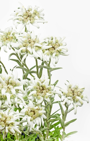 Blooming Edelweiss Flower  Leontopodium alpinum  photo