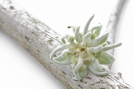 Blooming Edelweiss Bloemen Leontopodium alpinum Stockfoto