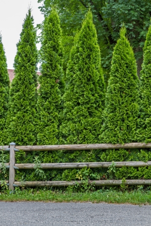hedge plant: Thuja fence