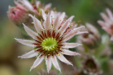 Flowering sempervivum, macro, outdoors in the garden photo